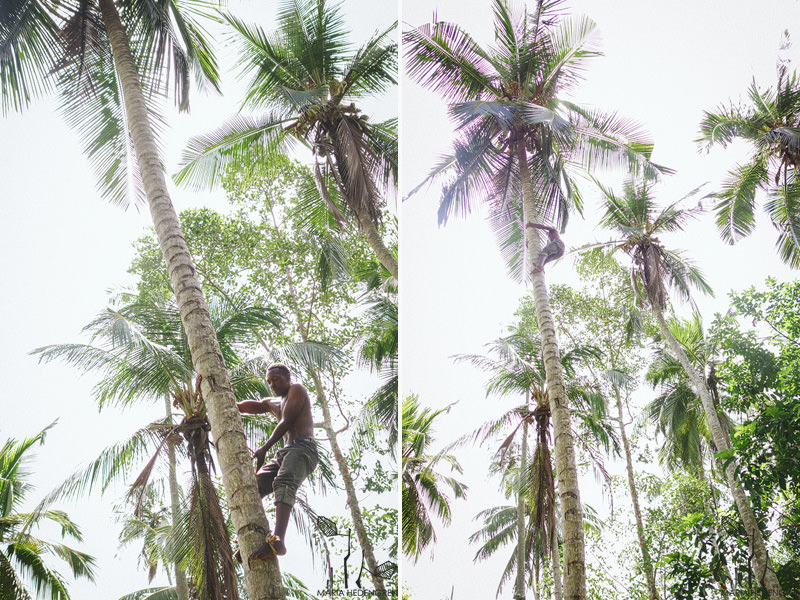 coconut picking