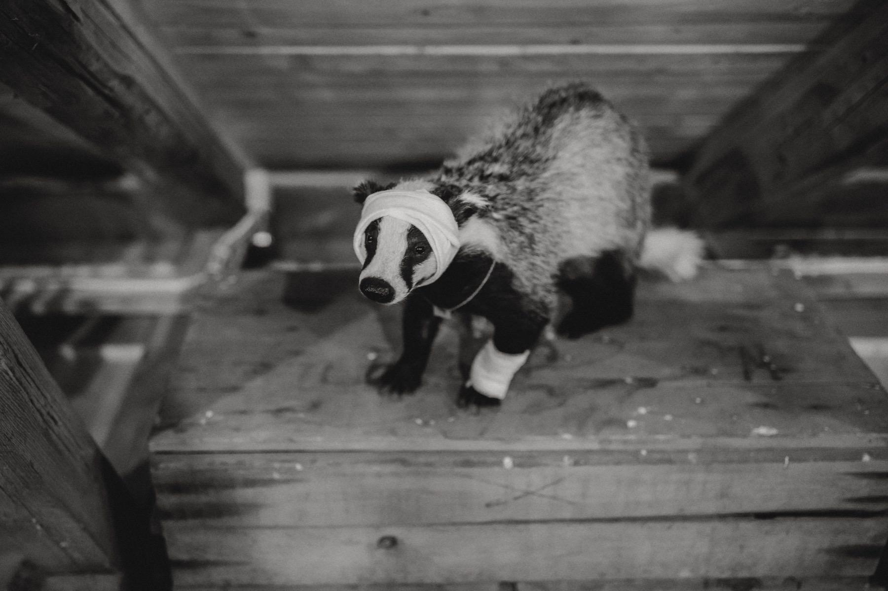 badger at wedding