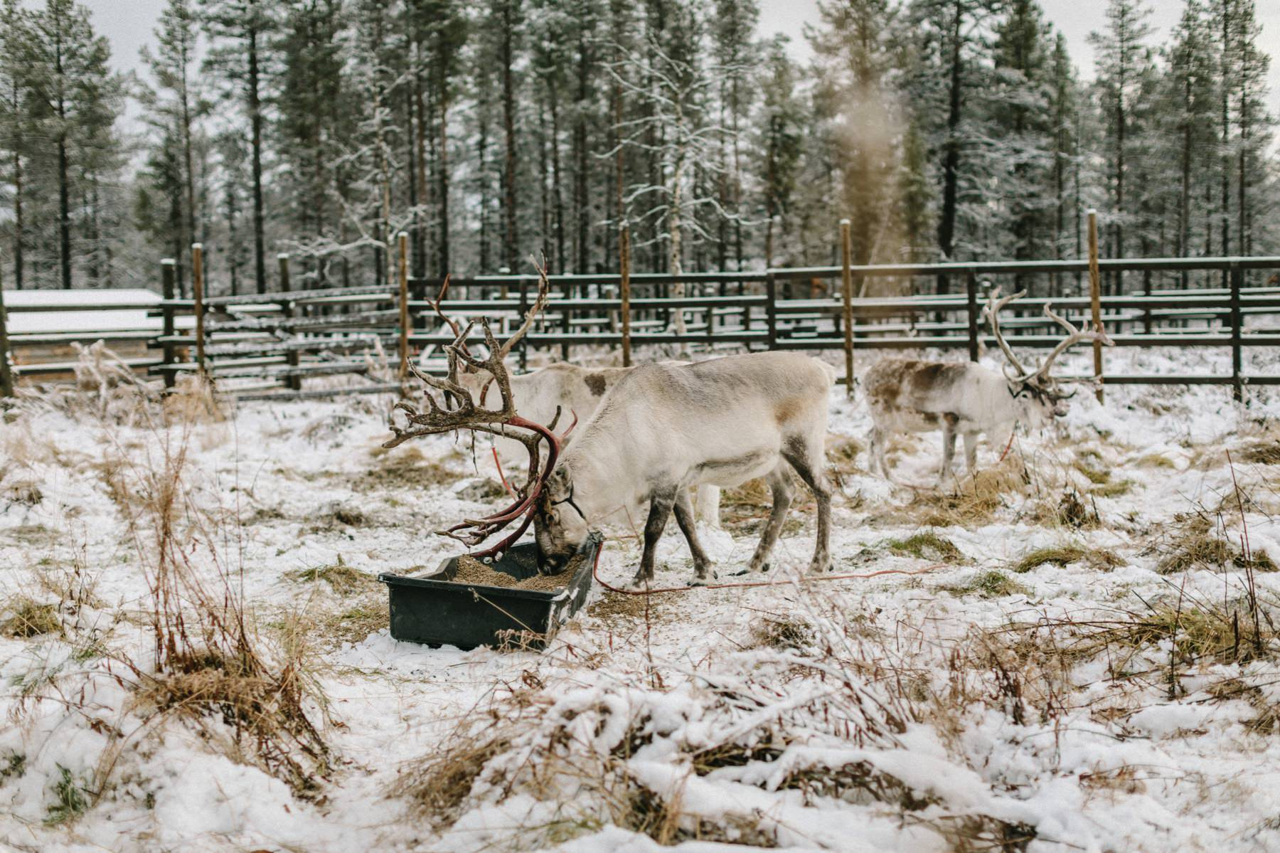 photo session with reindeers