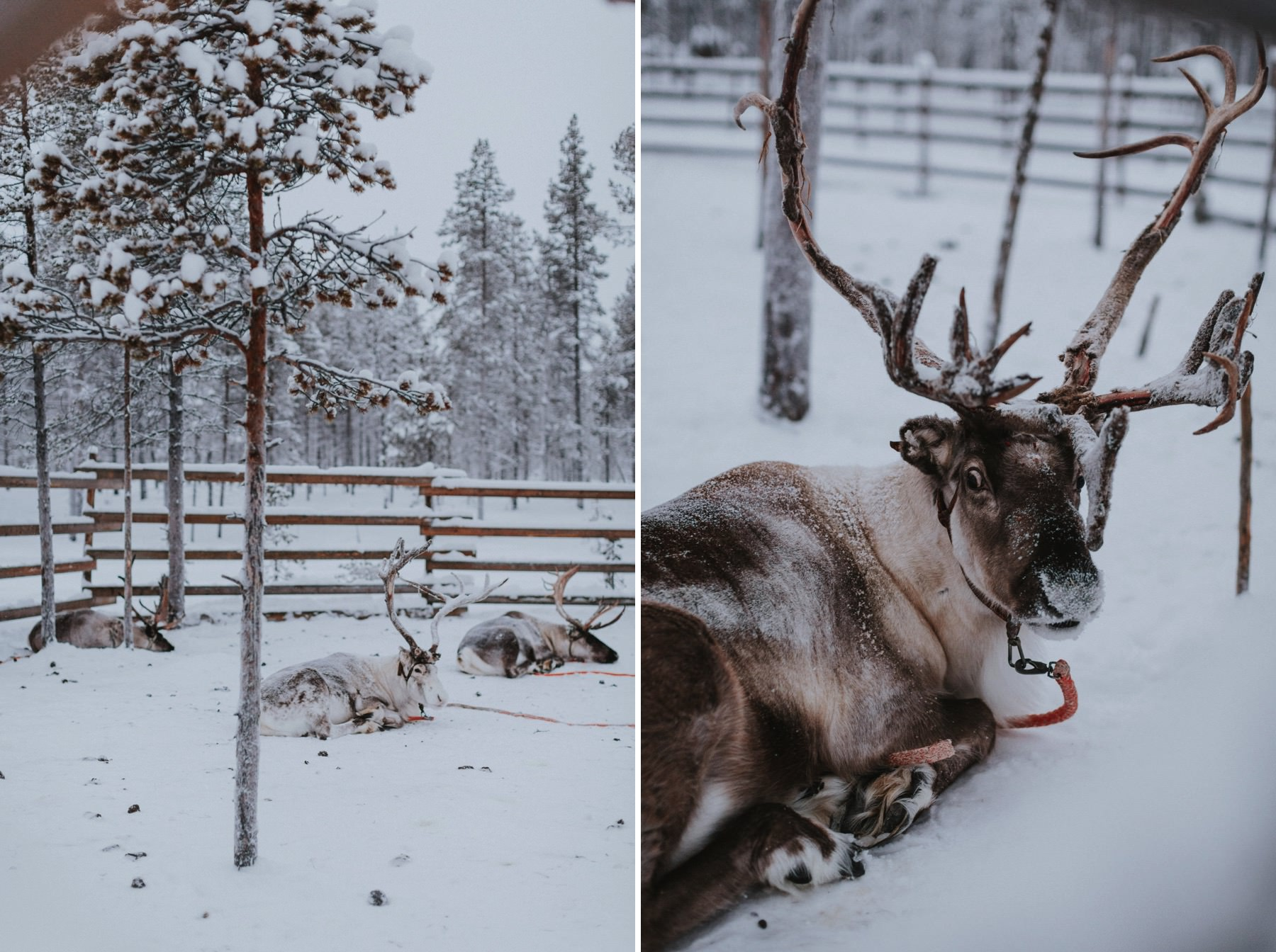 reindeer photo session