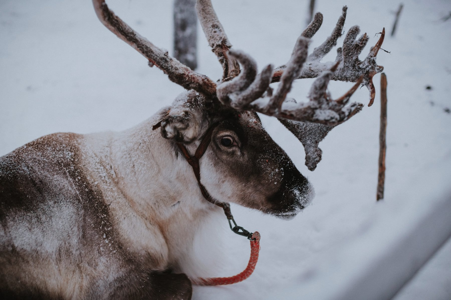 photo shoot with reindeer